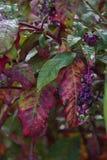 Arborea di floweror del Phytolacca Fotografia Stock