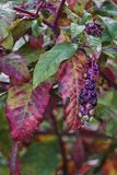 Arborea di floweror del Phytolacca Immagini Stock