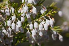 arborea erica Стоковое Изображение RF