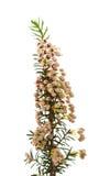 arborea Erica Στοκ Εικόνα