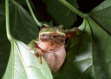 Arborea européen de Hyla de grenouille d'arbre Image stock