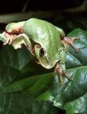 Arborea européen de Hyla de grenouille d'arbre Photos stock