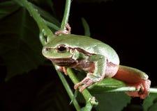 Arborea européen de Hyla de grenouille d'arbre Photos libres de droits