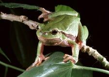 Arborea européen de Hyla de grenouille d'arbre Photographie stock