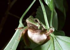 Arborea européen de Hyla de grenouille d'arbre Images libres de droits