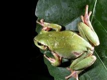 Arborea européen de Hyla de grenouille d'arbre Photographie stock libre de droits