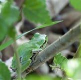 Arborea Hyla, ευρωπαϊκός βάτραχος δέντρων Στοκ Φωτογραφίες