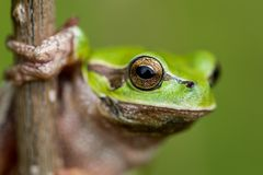 Arborea Hyla - ευρωπαϊκός βάτραχος δέντρων Στοκ φωτογραφίες με δικαίωμα ελεύθερης χρήσης