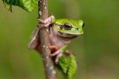 Arborea Hyla - ευρωπαϊκός βάτραχος δέντρων Στοκ φωτογραφία με δικαίωμα ελεύθερης χρήσης