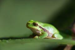 Arborea Hyla лягушки вала Стоковое Фото