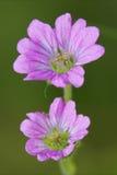 Arborea Lavatera Στοκ φωτογραφία με δικαίωμα ελεύθερης χρήσης