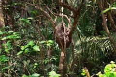 Arboreal в гнезде термита дерева воздушном в El Eden, тропе джунглей Puerto Vallarta в макросе, детальном взгляде в Мексике стоковое фото rf