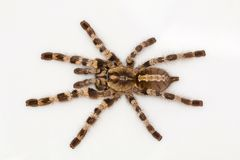 Arboreal тарантул, tigrinawesseli Poecilotheria от восточного Ghats, Индии стоковое изображение