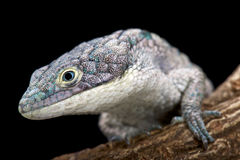 Arboreal alligator lizard (Abronia graminea) Royalty Free Stock Images
