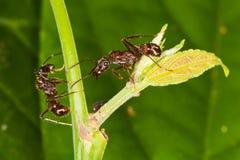 Arboreal ants around tick. Royalty Free Stock Image