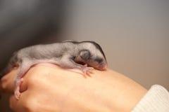 Arboreal gliding possum lays on hand. Sugar glider cub. Petaurus breviceps, omnivorous, arboreal gliding possum lays on hand Stock Photo