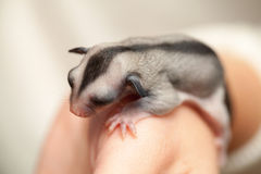 Arboreal gliding possum lays on the hand. Sugar glider cub. Petaurus breviceps, omnivorous, arboreal gliding possum lays on the hand stock image