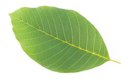Arboreal green leaf. On a white background Stock Photos