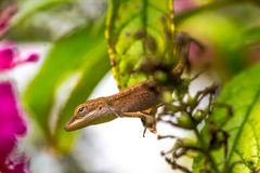 Arboreal Lizard. Caroline Anole, Green Anole, American Anole, Red-throated Anole, American Chameleon Royalty Free Stock Photos
