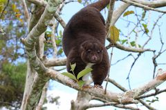 Arboreal Mountain Cuscus. This arboreal mountain cuscus in Papua New Guinea climbs around the trees and snacks on the leaves royalty free stock image