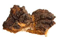 Arboreal mushrooms. Chaga - arboreal mushrooms growing on birch trunk. officinal fungus royalty free stock image