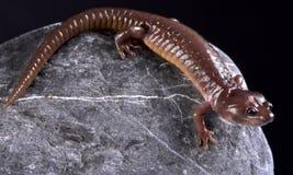 Arboreal salamander Aneides lugubris Stock Photos