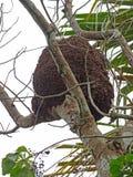 Arboreal termite nest Stock Photography