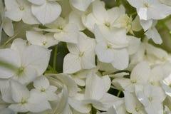 Arborescens гортензии белого цветка Стоковые Фотографии RF