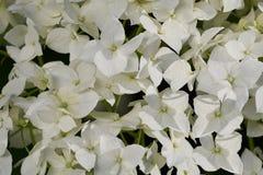 Arborescens гортензии белого цветка Стоковые Фото