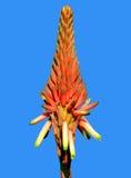 Arborescens 'Compton' dell'aloe Fotografia Stock