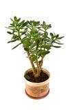 Arborescens del Crassula Fotografia Stock Libera da Diritti