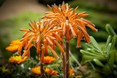 Arborescens dell'aloe o pianta del polipo Fotografia Stock