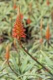 Arborescens dell'aloe, specie di fioritura della pianta succulente Immagini Stock Libere da Diritti