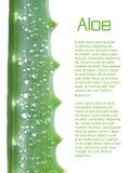 Arborescens dell'aloe su bianco Fotografie Stock Libere da Diritti
