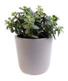 Arborescens della crassula Immagini Stock