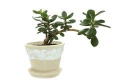 Arborescens do Crassula Imagens de Stock Royalty Free