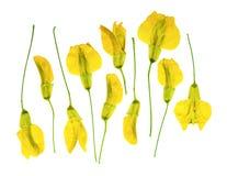 Arborescens presionados y secados del caragana del acacia de la flor, aislados foto de archivo libre de regalías