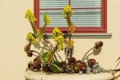 Arboreto suculento de florecimiento en una exhibición del pote de la ventana, California del Aeonium fotos de archivo