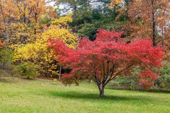 Red Japanese maple tree in the Arboretum of Sochi. Russia. Arboretum is a Unique and Famous Landmark in Sochi. Park Arboretum in Sochi deservedly has the status Royalty Free Stock Photo