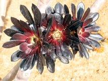 Arboreum 2007 Aeonium πάρκων Gan Ramat Στοκ εικόνα με δικαίωμα ελεύθερης χρήσης