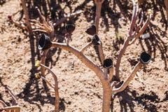 Arboreum-Aeonium Aeonium Schwartzkopf mit schwarzen Blumen Stockfotografie