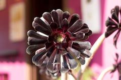 Arboreum Atropurpurea del Aeonium Fotos de archivo libres de regalías