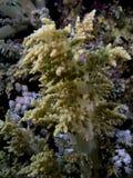 Arboreum de Litophyton (coral dos brócolis) no SE vermelho foto de stock royalty free