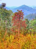 Arboreum do rododendro, a árvore da flor igualmente conhecida como Burans na Índia Esta é uma árvore sempre-verde com uma exposiç fotografia de stock
