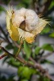 Arboreum Gossypium βαμβακιού Βαμβάκι δέντρων Στοκ φωτογραφία με δικαίωμα ελεύθερης χρήσης
