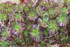 Arboreum púrpura del Aeonium en verde con el ¡púrpura del tipsภtambién llamado Fotos de archivo libres de regalías