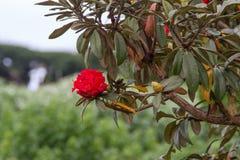 Arboreum Rhododenron Στοκ Εικόνες