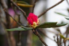 Arboreum Rhododenron Στοκ Εικόνα