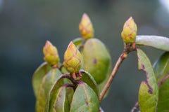 Arboreum Rhododenron Στοκ φωτογραφία με δικαίωμα ελεύθερης χρήσης