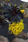 Arboreum succulente Atropurpureum di aeonium Fotografia Stock Libera da Diritti